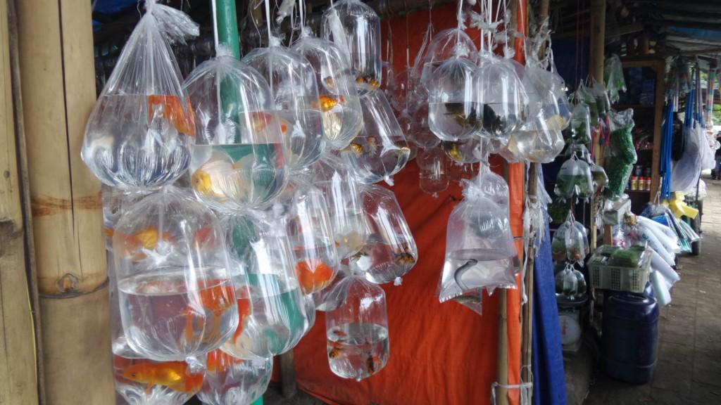 Aneka Macam Ikan Hias yang dijual di Pasar Ikan Muara Bandung - Penjaja Kata