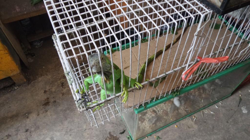 Iguana di Pasar Burung Sukahaji Bandung - Penjaja Kata